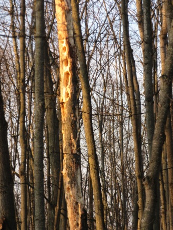 "Another tree ""drilled"" by Pileated Woodpeckers."