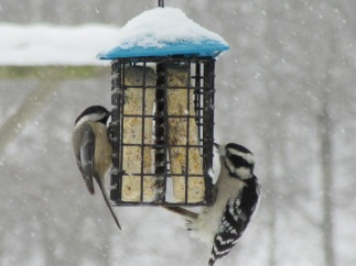 White-Breasted Nuthatch and Hairy Woodpecker