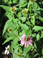 Echinacea, also called Purple Coneflower