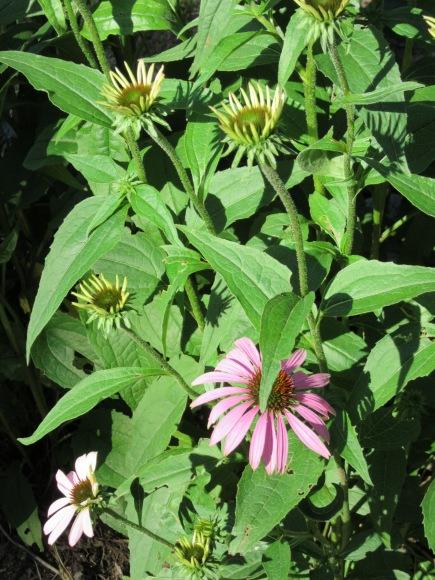 Echinacea, also called Purple Coneflower