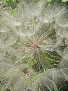 "Seed of Goat's Beard - Also called ""Johnny-go-to-bed-at-noon"