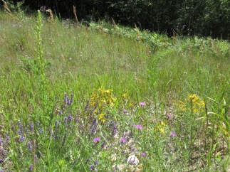 Lavender, Spotted Knapweed, St. John's Wort, and other wildflowers