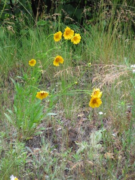 Lance-Leaf Coreopsis - Also called Tickweed