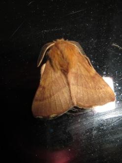 Forest Tent Caterpillar Moth
