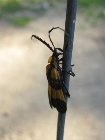 Net-winged Beetle, Lycidae