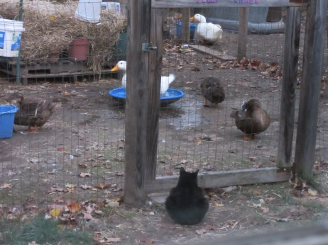 Josette outside the pen watching the ducks