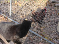 Josette watching the chickens