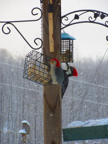 Red-bellied Woodpecker and Pileated Woodpecker