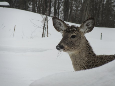 This little deer has icicles hanging from its mouth.