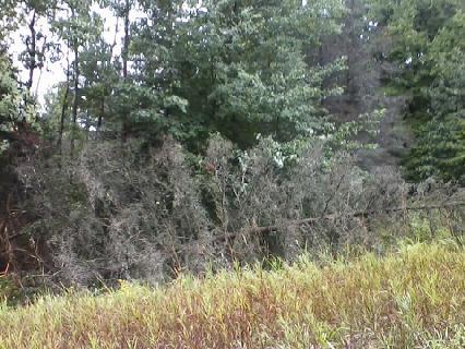 Fallen dead pine tree