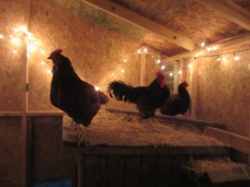 Some of the chickens on top of the dog house.