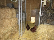 The two new chickens