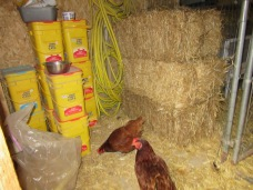 Straw bales and kitty litter buckets filled with poultry feed.