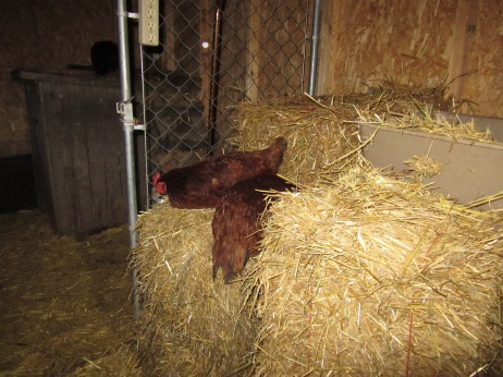 The two new hens on their straw bales