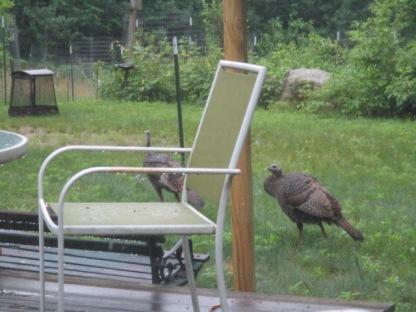 Turkeys near the deck this morning