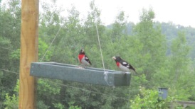 Two Rose-breasted Grosbeaks