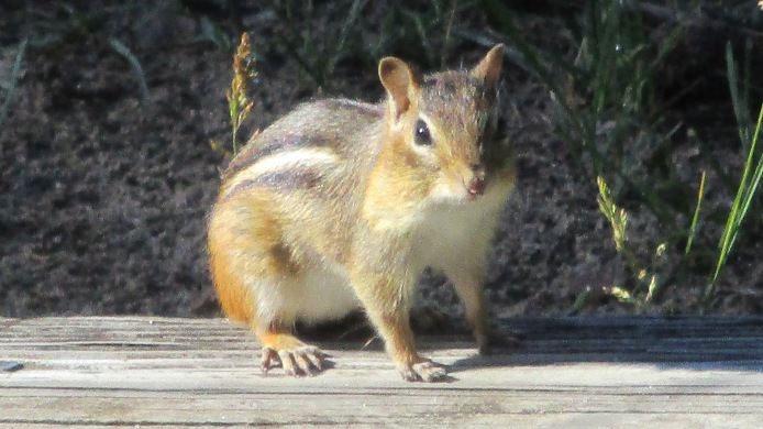 One of our chipmunk visitors
